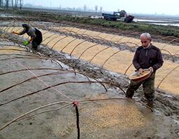 آغاز خزانهگیری برنج در شالیزارهای مازندران