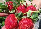 ورود توت فرنگی نوبرانه مازندران به بازار