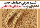 ثبت و معرفی چهار رقم جدید گندم دیم توسط محققان دانشگاهی