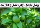 پرتقال مازندران زودتر از فصل وارد بازار شد